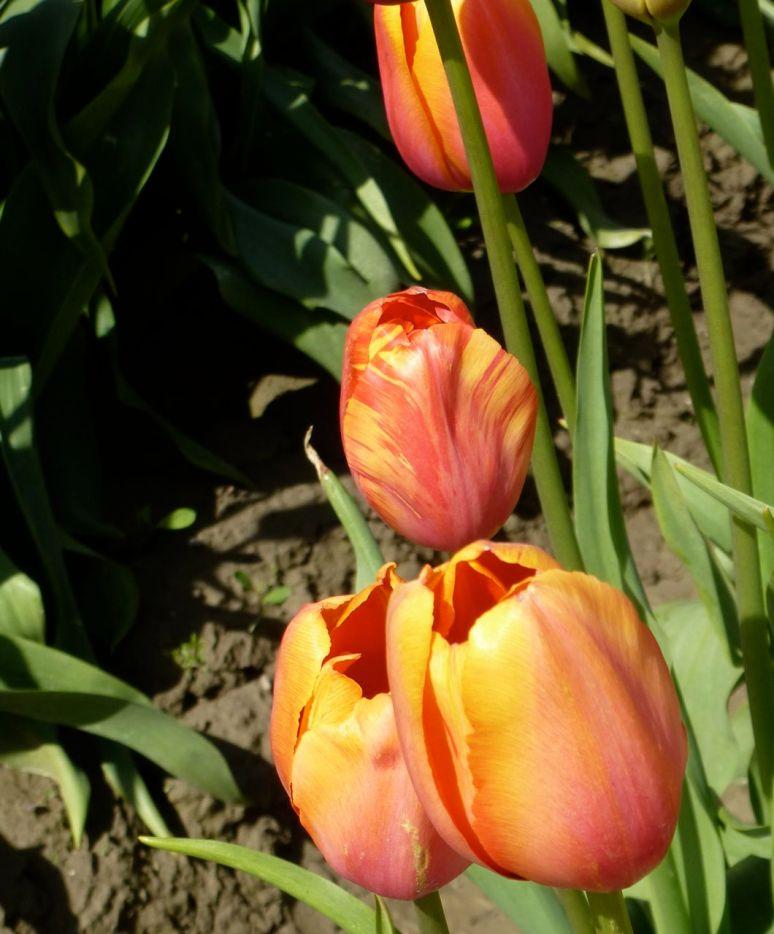 Tulip Town - La Conner WA