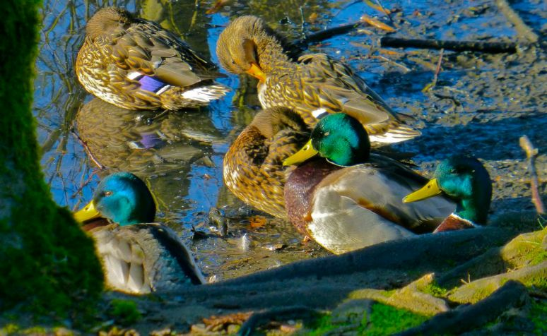 Mallards in the sun