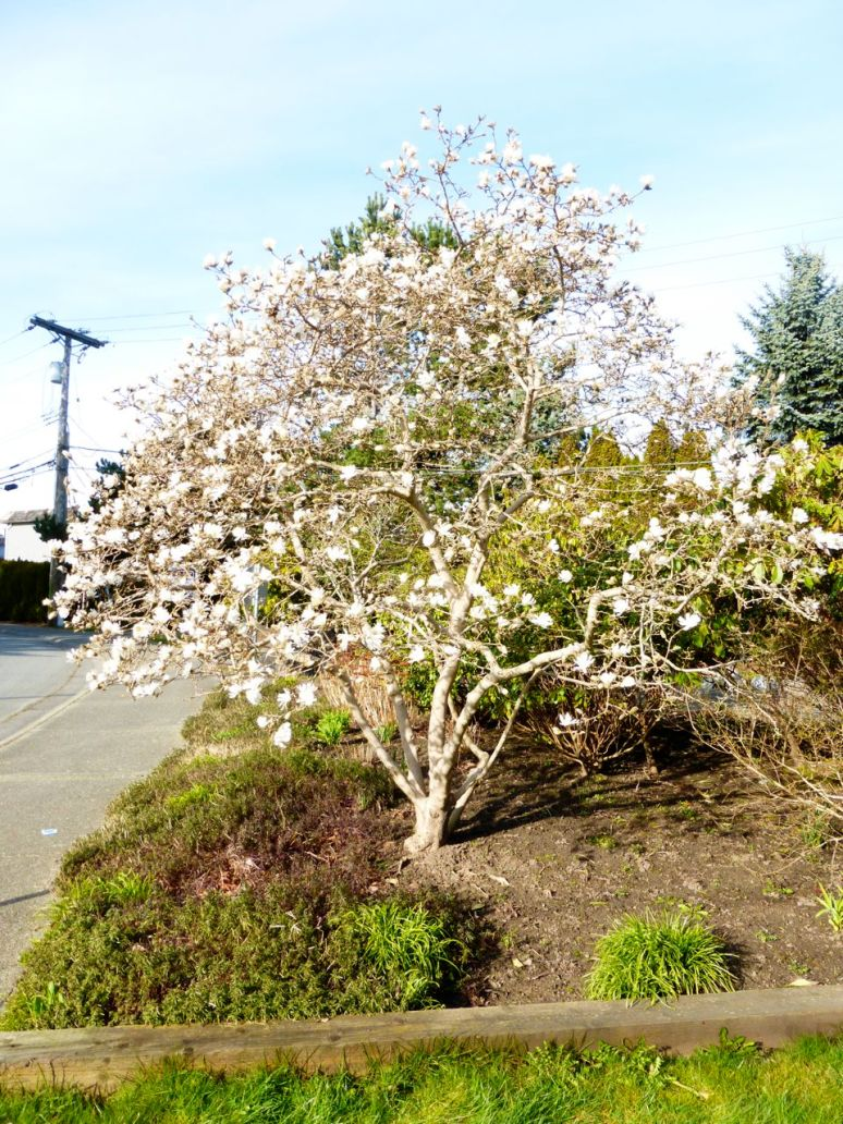 Magnolia tree in bloom (Photo © 2015 by V. Nesdoly)