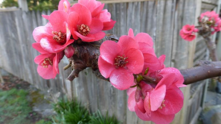 Flowering Quince (Photo© 2015 by V. Nesdoly)
