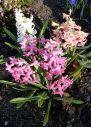 Blooming hyacinths